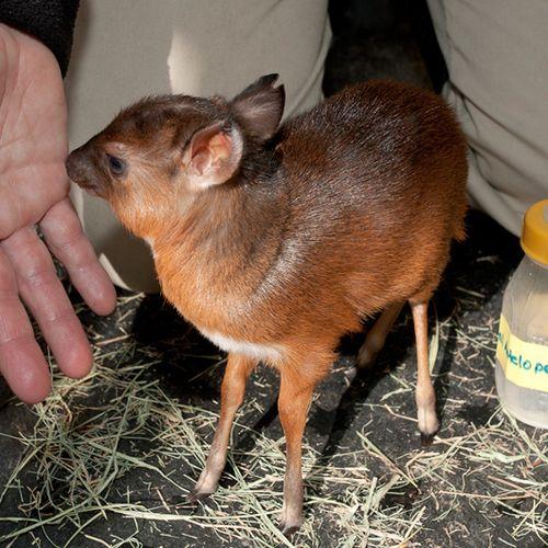 Royal Antelope Calf